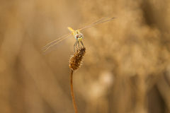 Dragonfly waiting Royalty Free Stock Photos