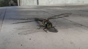 Dragonfly waiting on a table stock footage