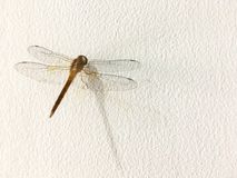Dragonfly on the wall Royalty Free Stock Photo