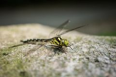 Dragonfly sitting on stone. Dragonfly warming up on an cold day on a sunny stone royalty free stock photography