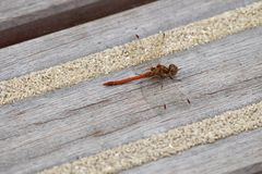 Dragonfly warming up on wooden floor Stock Photography