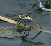 Dragonfly on the water 2 Stock Photography