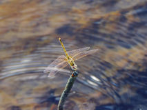 Dragonfly. Royalty Free Stock Images