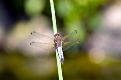 Dragonfly on water. The bulrushes Royalty Free Stock Images