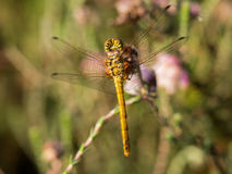 Dragonfly with water droplet  from background Stock Images