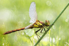 Dragonfly with water drops close-up Stock Photography