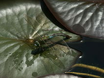 Dragonfly on water lilly leaf Stock Photography