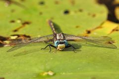 Dragonfly on a Water Lily Royalty Free Stock Photos