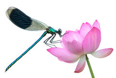 Dragonfly on a water lily close-up Royalty Free Stock Photos
