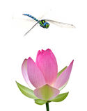 Dragonfly and water lily close-up Stock Image