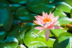 Dragonfly on Water Lily Flower. Dragonfly on blooming pink water lily flower with pads in background royalty free stock photography