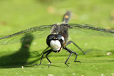 Dragonfly on a Water Lily Leaf Royalty Free Stock Image