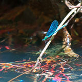 Dragonfly on water stock image