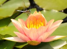 Dragonfly on waterlily Stock Photos