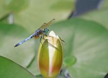 Dragonfly on Waterlily Bud. A Dragonfly on Waterlily Bud captured at hot summer day in Indiana royalty free stock photo