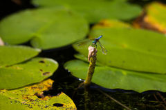 Dragonfly in Waterlily Patch Stock Images