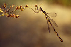 Dragonfly on weed Stock Images
