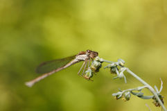 Dragonfly on weed grass Stock Image