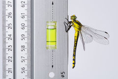 Dragonfly (Western Clubtail) loves the spirit level  on a ruler. Dragonfly (Western Clubtail, Gomphus pulchellus, Westliche Keiljungfer) loves the spirit level Royalty Free Stock Images