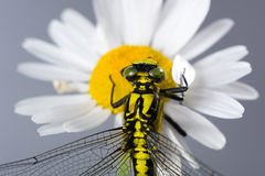 Dragonfly (Western Clubtail) sitting on a marguerite Stock Image