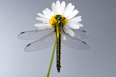 Dragonfly (Western Clubtail) sitting on a marguerite Royalty Free Stock Photos
