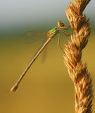 Dragonfly on wheat Royalty Free Stock Image