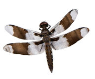 Dragonfly on white background. Beautiful dragonfly with brown coloring on a white background Royalty Free Stock Image
