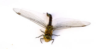 Dragonfly on white background. Isolate. Close-up. Royalty Free Stock Photography