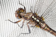 Dragonfly on white curtain. A closeup shot of a dragonfly hanging from a white curtain Stock Photography