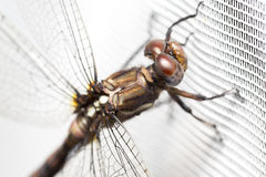 Dragonfly on white curtain Royalty Free Stock Photo