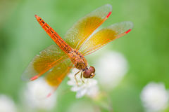 Dragonfly and White Flower With Green Background. Dragonfly and White Flower With Stock Images