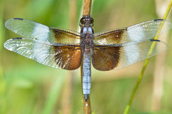 Dragonfly Whitetail Стоковое Изображение RF