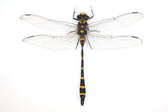 Dragonfly. Whole dragonfly on white background stock photography