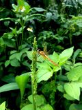 Dragonfly and Wild grass flower. Dragonfly with wild grass flower in early morning stock images