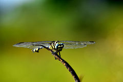 Green and yellow  dragonfly sits on the grass with a green back-up, Beautiful wing of dragonfly,  Royalty Free Stock Photo