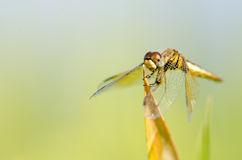 Dragonfly wing, middle wing, get some air and sunlight atop beau. Tiful grass Royalty Free Stock Image