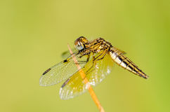 Dragonfly wing, middle wing, get some air and sunlight atop beau. Tiful grass Royalty Free Stock Images