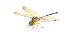 Dragonfly wings. Stock Photo