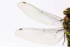 Dragonfly wings Royalty Free Stock Photography