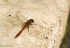 Dragonfly wings background. Dragonfly with wings wide open resting on a white stone  in a summer day, detail, background Royalty Free Stock Image