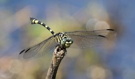 Dragonfly with wings stock photo
