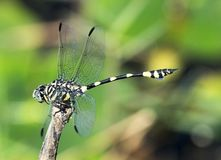 Dragonfly with wings stock photography