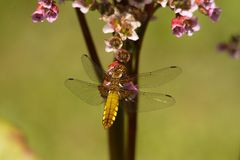 Dragonfly, Wings, Golden, Insect Stock Photography