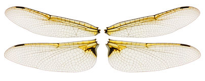 Dragonfly wings isolated on white Stock Images