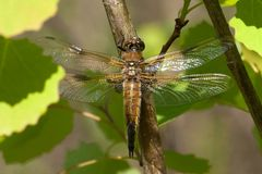 Dragonfly with wings spread warming up in the sun Stock Images