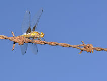 Dragonfly on a wire fence. Stock Images