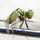 Dragonfly on the wire Stock Image