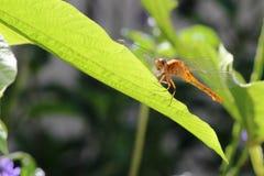 Dragonfly wokoło komarnica liść Zdjęcia Stock