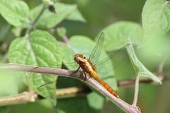 Dragonfly wokoło latać Zdjęcia Royalty Free
