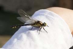 Dragonfly on woman hand photo Royalty Free Stock Images